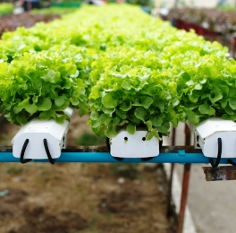 Lettuces growing in a hydroponic greenhouse