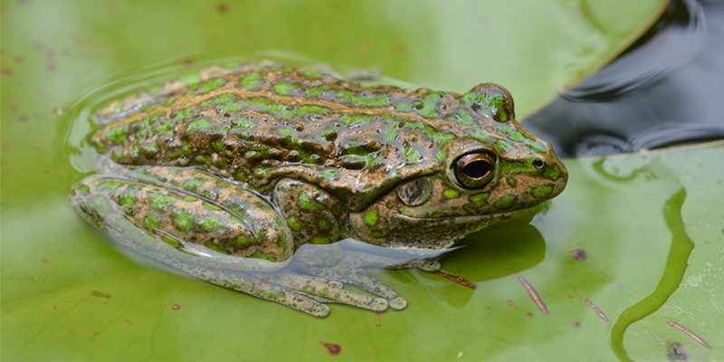 Spotted-thighed frog. Photo by Christine Taylor.